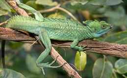 Green basilisk 10 Royalty Free Stock Image