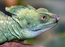 Green basilisk 11 Royalty Free Stock Photo