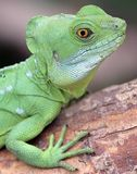 Green Basilisk 2 Stock Photo