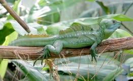Green Basilisk 3 Stock Image