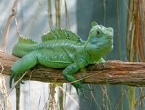 Green Basilisk 4 Stock Photography