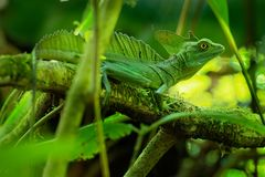 Green Basilisk - Basiliscus plumifrons also called the green basilisk, the double crested basilisk, or the Jesus Christ lizard. Species of lizard in the family royalty free stock photos