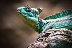 Green basilisk (Basiliscus plumifrons) Royalty Free Stock Images