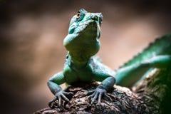 Green basilisk (Basiliscus plumifrons) Royalty Free Stock Image