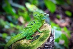 Green Basilisk Basiliscus plumifrons, or Jesus Christ Lizard o stock image