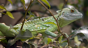 Green basilisk 8 Royalty Free Stock Image