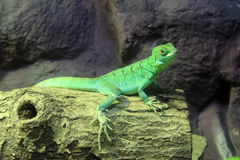 Green Basilisk Lizard Royalty Free Stock Photography