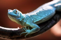 Green Basilisk lizard Stock Photo
