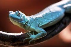 Green Basilisk lizard Stock Photo