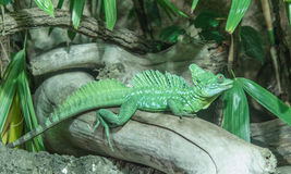 Green Basilisk Lizard. A green basilisk lizard of Central America, also known as the Jesus Christ lizard Royalty Free Stock Images