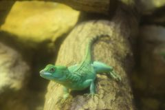 Green Basilisk Lizard (Basiliscus plumifrons). Royalty Free Stock Photo