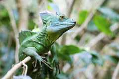 Green Basilisk Lizard Royalty Free Stock Images
