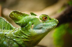 Green basilisk lizard. Close-up view of a green Plumed basilisk Basiliscus plumifrons. Detail of the eye of green reptile. Green basilisk lizard. Close-up view stock photo
