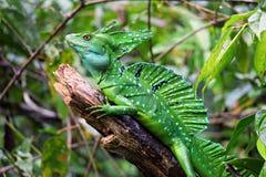 Free Green Basilisk Lizard, Costa Rica Wildlife. Stock Image - 150558141