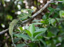 Green Basilisk lizard in the wild Royalty Free Stock Photography