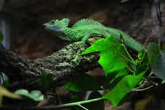 The green basilisk is motionless on the branch tree Royalty Free Stock Photos