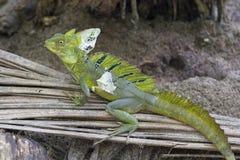 Green basilisk. Plumed or green basilisk, Basiliscus plumifrons royalty free stock photos