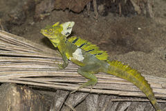Green basilisk Royalty Free Stock Photos