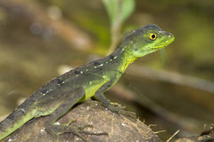 Green basilisk Stock Photos