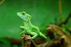 Green basilisk lizard Royalty Free Stock Photo