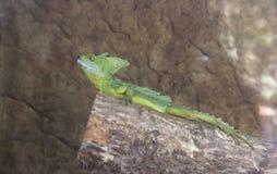 Green Basilisk Resting on a Log stock photos
