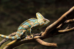 Green basilisk Royalty Free Stock Images