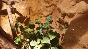 Green basilisk. In a terrarium behind leaves Stock Image