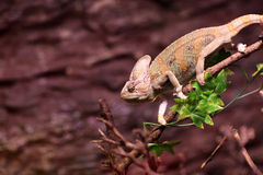 Green basilisk on a tree branch Stock Image