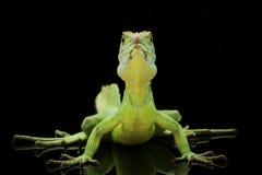 Green basilisks. (Basiliscus plumifrons) isolated on black background Royalty Free Stock Images