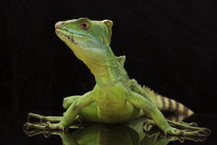 Green basilisks. (Basiliscus plumifrons) isolated on black background Royalty Free Stock Image