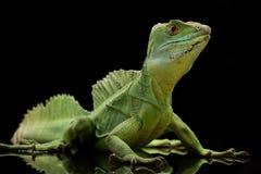 Green basilisks. (Basiliscus plumifrons) isolated on black background Royalty Free Stock Photos