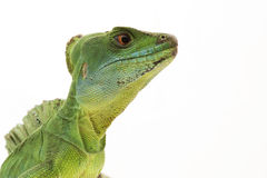 Green basilisks Stock Photo