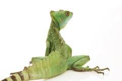 Green basilisks. (Basiliscus plumifrons) isolated on white background Royalty Free Stock Photo