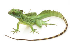 Green basilisks Stock Photos