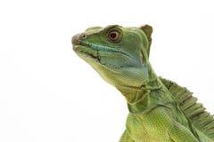 Green basilisks. (Basiliscus plumifrons) isolated on white background Stock Image