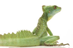 Green basilisks Royalty Free Stock Image