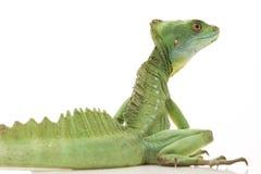 Green basilisks. (Basiliscus plumifrons) isolated on white background Royalty Free Stock Image