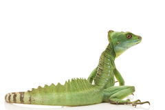 Green basilisks Stock Images