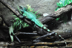 Green basilisks (Basiliscus plumifrons) Royalty Free Stock Photography