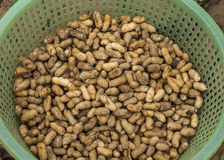 Green basket filled with freshly harvested peanuts. Royalty Free Stock Photos