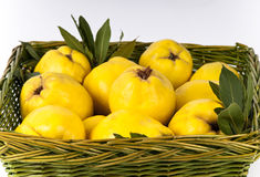 Green basket of golden yellow quinces. Green basket filled with fresh autumn quinces (Cydonia oblonga) ready for jelly making.  With olive leaves Stock Images