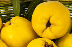 Green basket of golden yellow quinces. Stock Photography