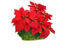 Green basket with red poinsettia Stock Images