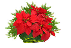 Green basket with red poinsettia and christmas tree branch Stock Photography