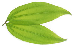 Green bay leaf Stock Photos