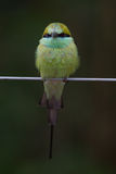 Green bea eater. Green bee eater in chikmagalur of india Stock Photos