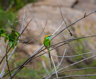 Green Bea Eater near Bangalore India. Royalty Free Stock Photography