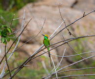 Green Bea Eater near Bangalore India. Royalty Free Stock Images