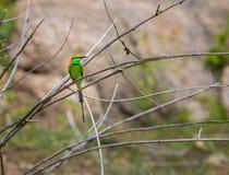 Green Bea Eater near Bangalore India. Stock Photo