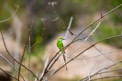 Green Bea Eater near Bangalore India. Stock Image